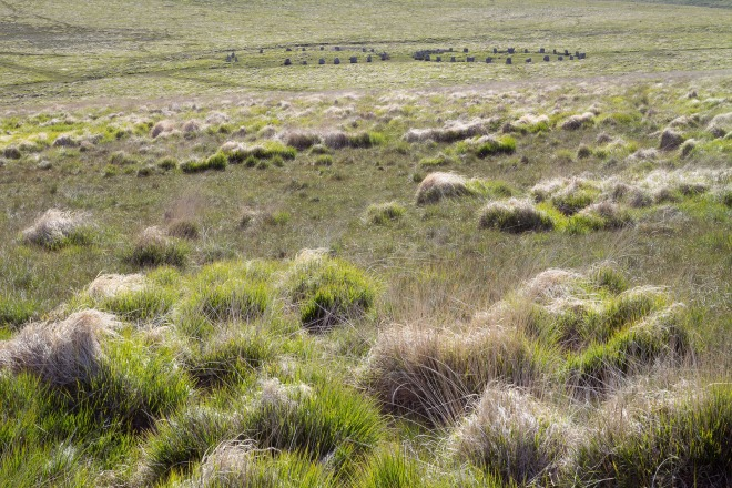 Grey Wethers and Tussock Grass