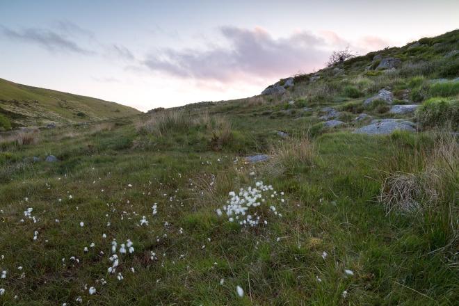 Cotton Grass pre dawn